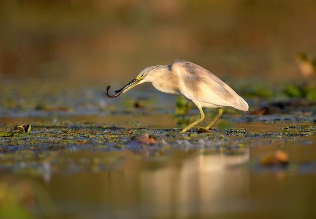 Héron crabot (ardeola ralloides) dans le plumage d'hiver filmé dans la douce lumière du matin. garde dans son bec une proie capturée - une grosse loche.