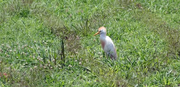 Héron garde-boeuf solitaire, chasse sur l'herbe verte