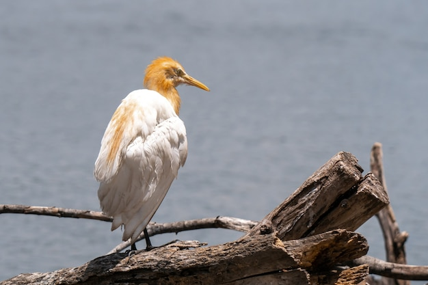 Héron garde-boeufs bubulcus ibis coromandus en thaïlande