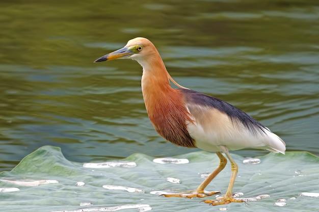 Héron de javan héron ardeola speciosa beaux oiseaux de thaïlande