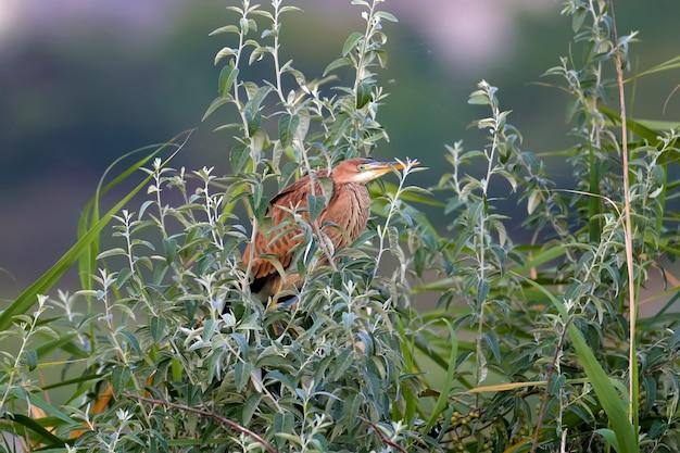 Le héron pourpré (ardea purpurea) est abattu tôt le matin assis dans les branches denses d'un arbre dans les rayons de lumière douce