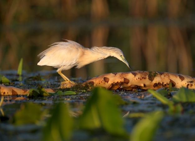 Héron squacco adultes (ardeola ralloides) tourné dans la douce lumière du matin gros plan sur une chasse au poisson