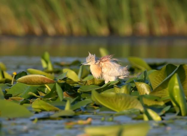 Héron squacco dans un habitat naturel avec une douce lumière du matin.