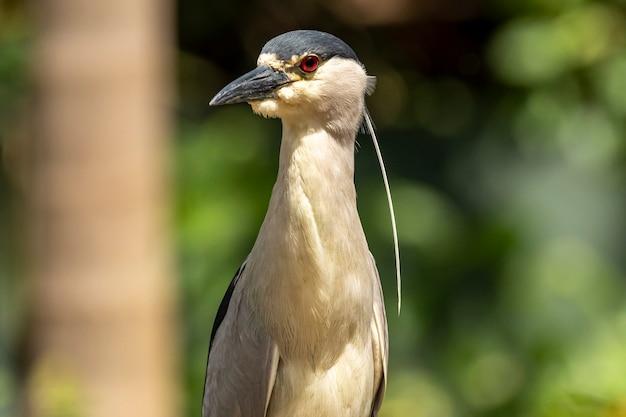 Le héron strié (butorides striata) également connu sous le nom de héron de mangrove, petit héron ou à dos vert, est un petit, d'environ 44 cm de haut