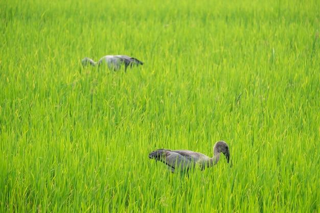 Les hérons trouvent leur nourriture au milieu des rizières.