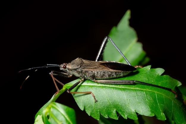 Hétéroptères de macro insectes