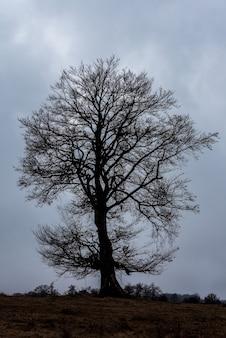 Le hêtre européen ou hêtre commun (fagus sylvatica) est un arbre à feuilles caduques appartenant à la famille des hêtres fagaceae