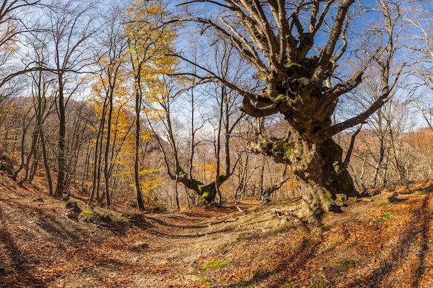 Le hêtre majestueux aux branches puissantes dans la forêt d'automne