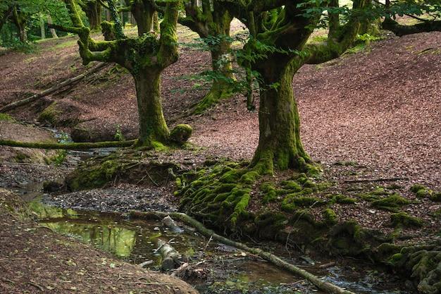 Hêtre sombre et ses racines à côté d'une rivière