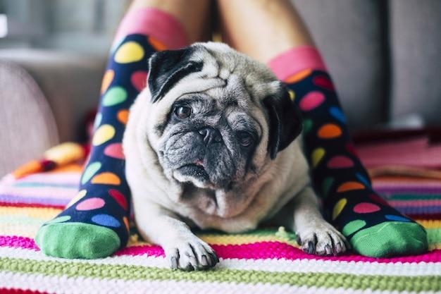 Heureuse jeune fille avec des chaussettes colorées folles et un chien carlin crémeux au milieu de ses jambes