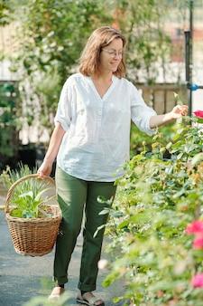 Heureuse jeune jardinière contemporaine avec panier regardant les bourgeons de roses en croissance tout en se tenant près de l'un des petits buissons en serre