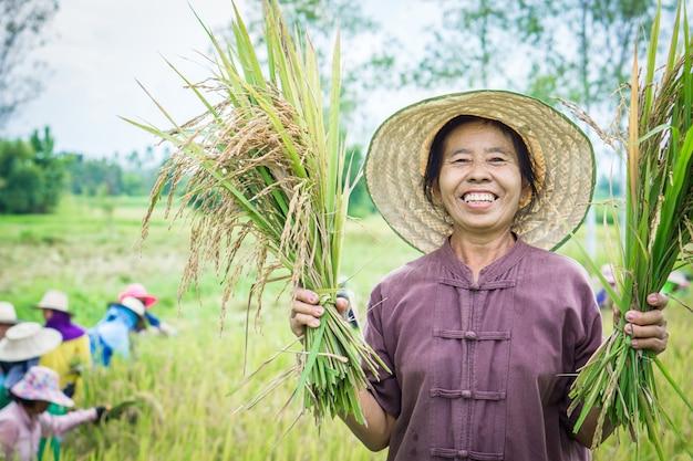 Heureux agriculteur thaïlandais récolte du riz dans une ferme
