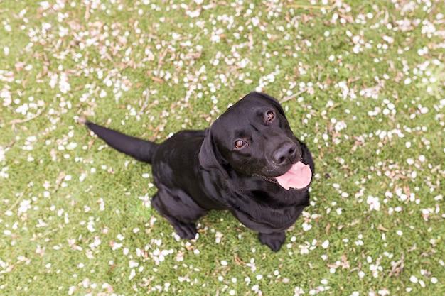 Heureux beau labrador noir avec sa langue traîner. fond vert. vue de dessus