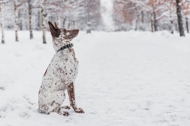 Heureux chien blanc-brun au collier, assis sur un champ neigeux dans la forêt de l'hiver