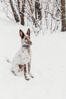 Heureux chien blanc-brun au collier assis sur un champ neigeux en hiver