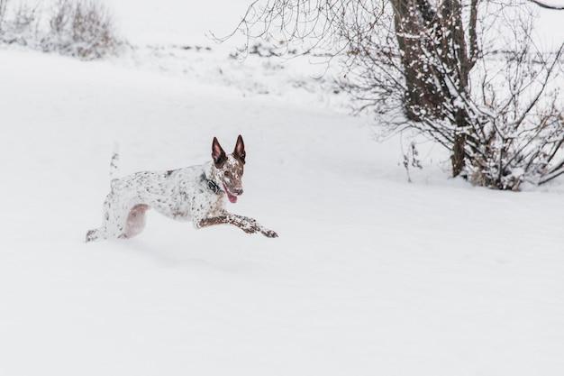Heureux chien blanc-brun au collier en cours d'exécution sur un champ neigeux dans la forêt de l'hiver