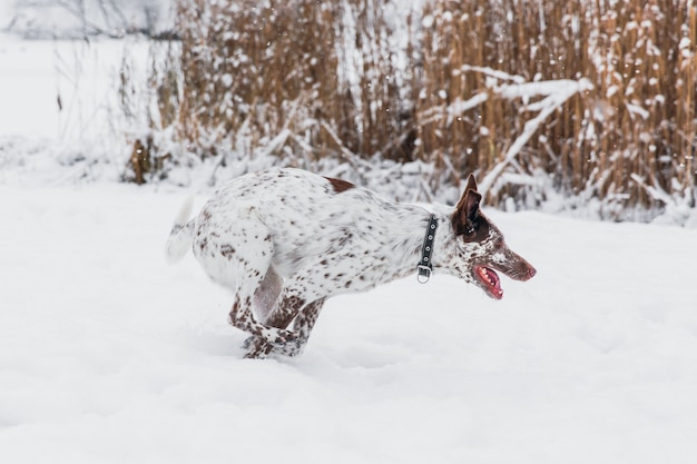 Heureux chien blanc-brun au collier en cours d'exécution sur un champ neigeux en hiver