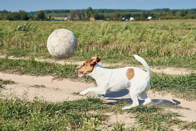 Heureux chien jouer avec ballon sur le terrain. jack russel terrier chien jouant à l'extérieur