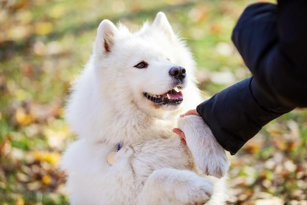 Heureux chien samoyède donnant la patte au propriétaire en automne parc