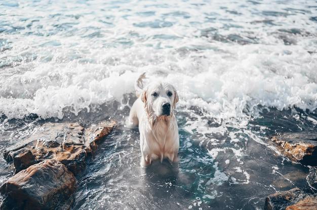 Heureux joyeux golden retriever natation en cours d'exécution sautant joue avec de l'eau sur la côte de la mer en été