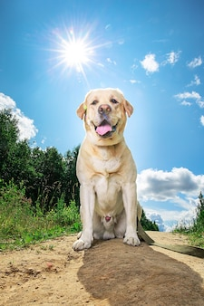 Heureux labrador retriever assis sur la forêt en journée ensoleillée