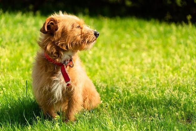 Heureux petit chien de chiot havanais orange assis dans l'herbe verte