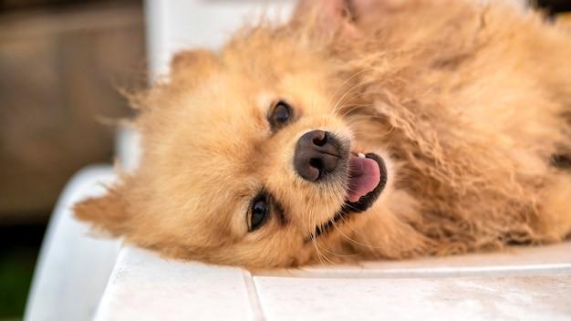 Heureux poméranien couché avec une fourrure jaune humide et une bouche ouverte