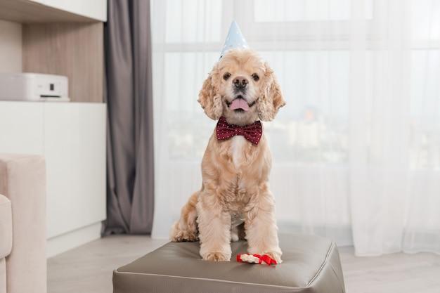 Heureux portrait de cocker avec chapeau de cône de fête et noeud de cravate rouge avec os à mâcher en ruban, assis sur un pouf à l'intérieur de la maison, chien d'anniversaire, adorable célébration de vacances pour animaux de compagnie