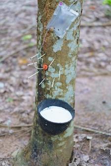 L'hévéa (hevea brasiliensis) produit du latex en utilisant du gaz éthylène pour accélérer la productivité. latex comme du lait conduit dans des gants, des préservatifs, des pneus, des pneus, etc.