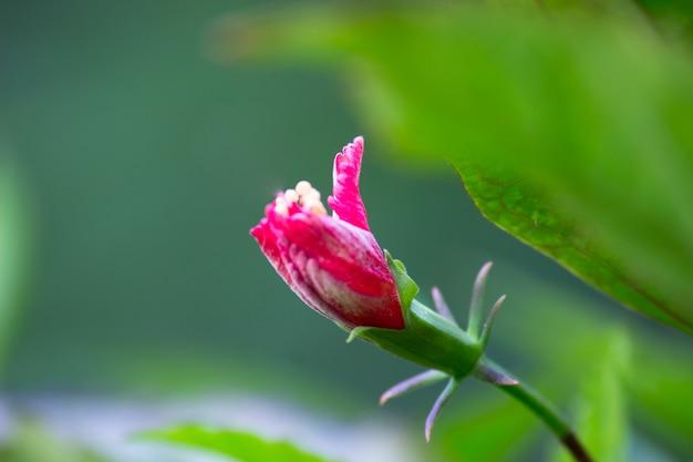 Hibiscus genre hibiscus qui fleurit au printemps