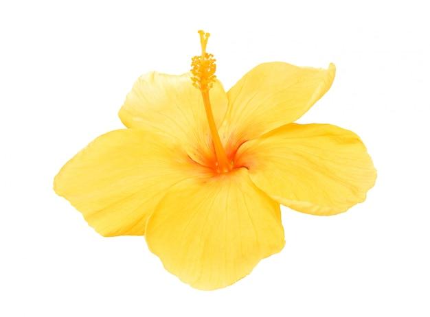 Hibiscus jaune isolé