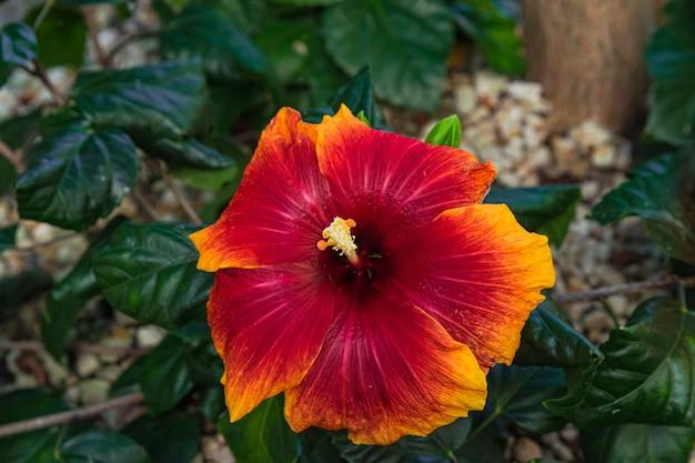 Hibiscus Rosasinensis Rouge Orangé En Fleurs Photo Premium