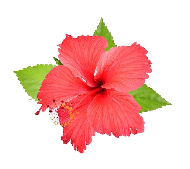 Hibiscus rouge isolé sur fond blanc