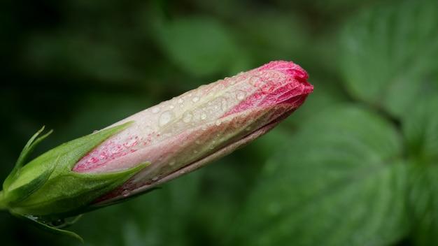 Hibiscus schizopetalus flower bud rouge avec des gouttelettes d'eau