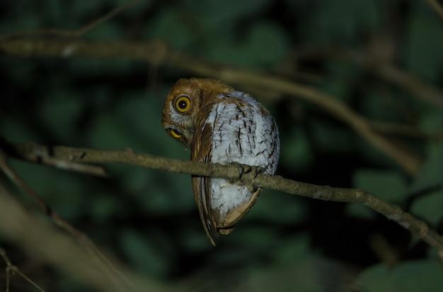 Hibou scops oriental (otus sunia) debout sur une branche