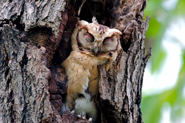Hiboux à collier otus sagittatus oiseaux mignons à dormir