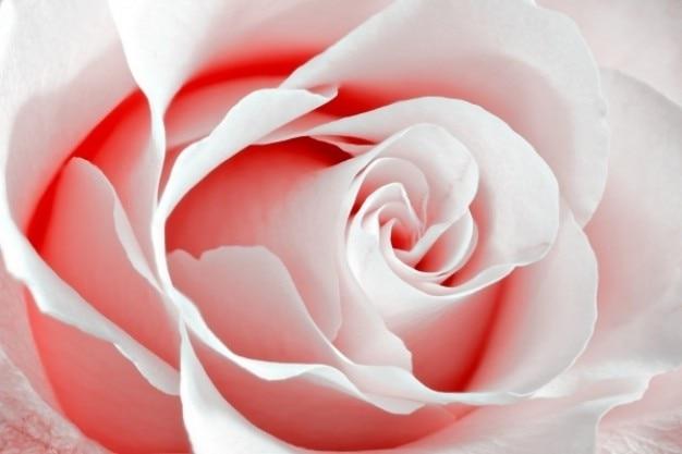 High key rose macro rouge