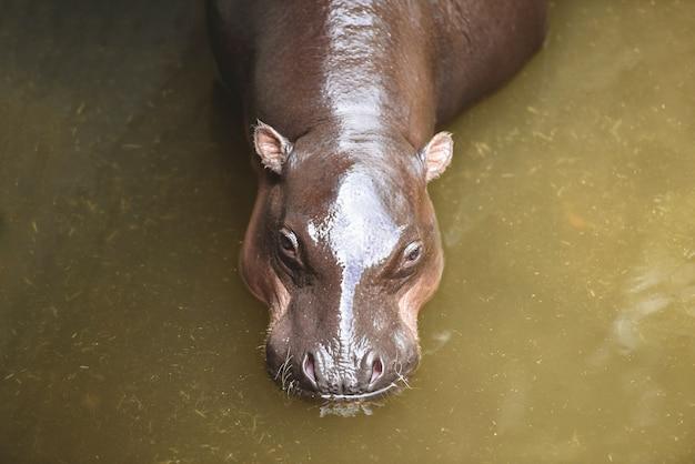 Hippo au zoo