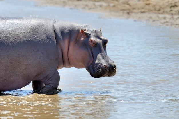 Hippo dans la savane