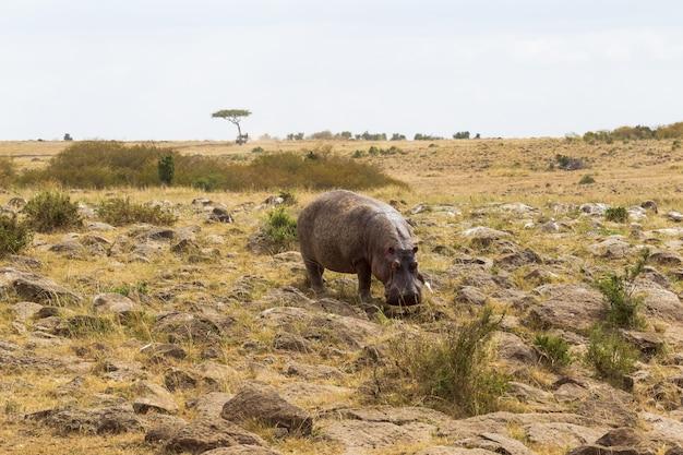 Hippo descend au bord de la rivière mara