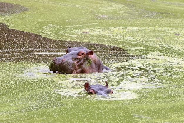 Hippo à gueule ouverte nageant dans le lac