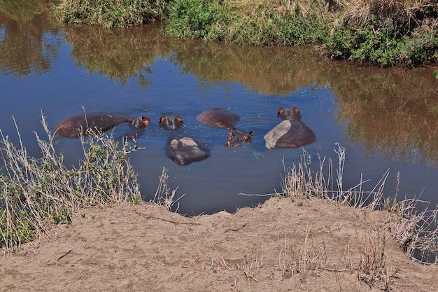 Hippo, hippopotame en safari au kenya et en tanzanie, afrique