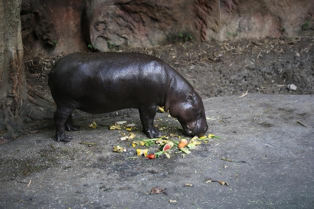 Hippo pygmée