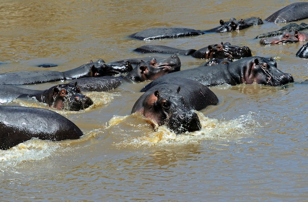 Hippopotame africain dans son habitat naturel. kenya. afrique.