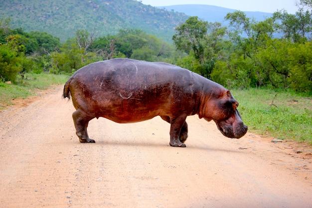 Hippopotame au milieu de la route