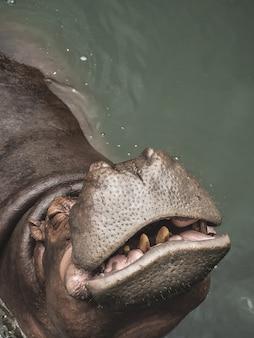 Un hippopotame dans l'eau