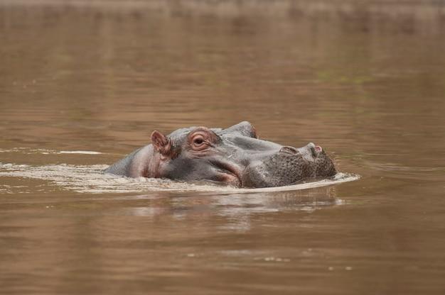 Hippopotame dans la rivière mara