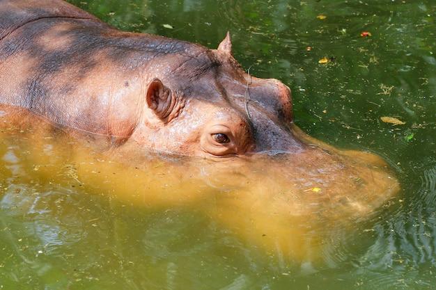 Hippopotame dans la rivière en thaïlande
