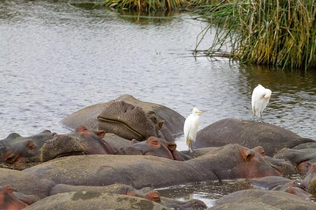 Hippopotame sur l'eau. cratère de la zone de conservation du ngorongoro, tanzanie. la faune africaine