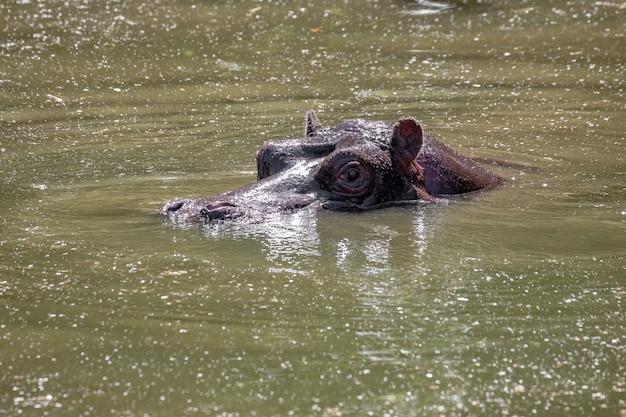 Hippopotame de l'espèce hippopotamus amphibius dans l'eau